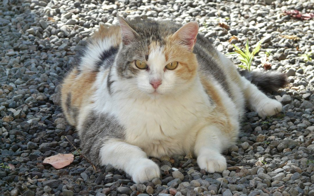 Cat obesity: causes and ways to treat it